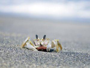 crab-beach-lombok