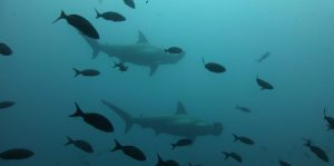 hammerheads-sharks