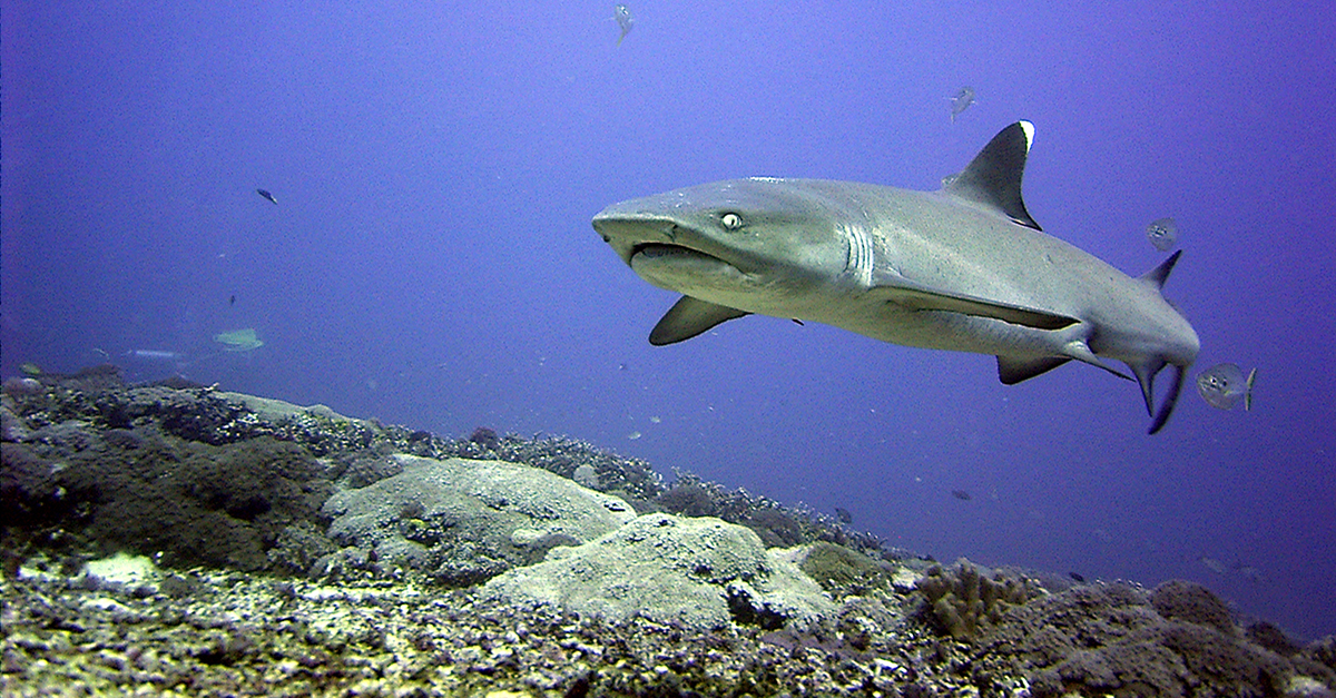 Reef sharks at Shark Point Gili Trawangan