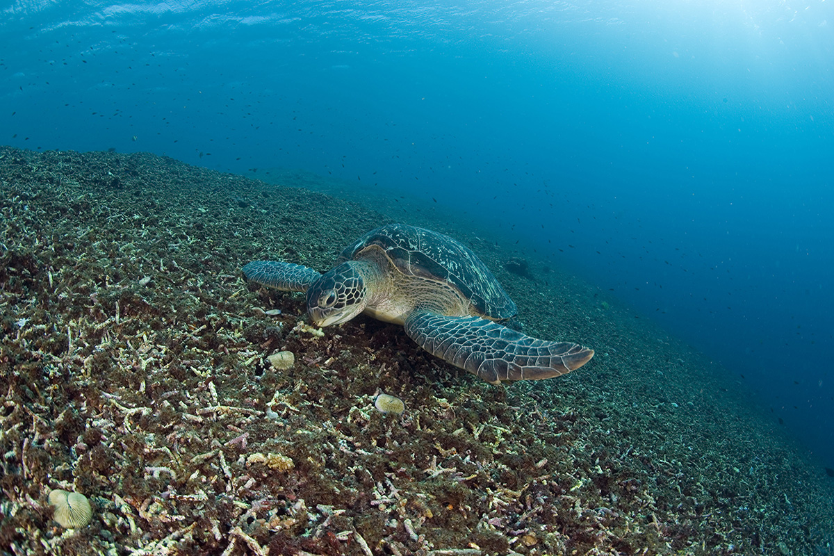 Green Sea Turtle at Gili Islands