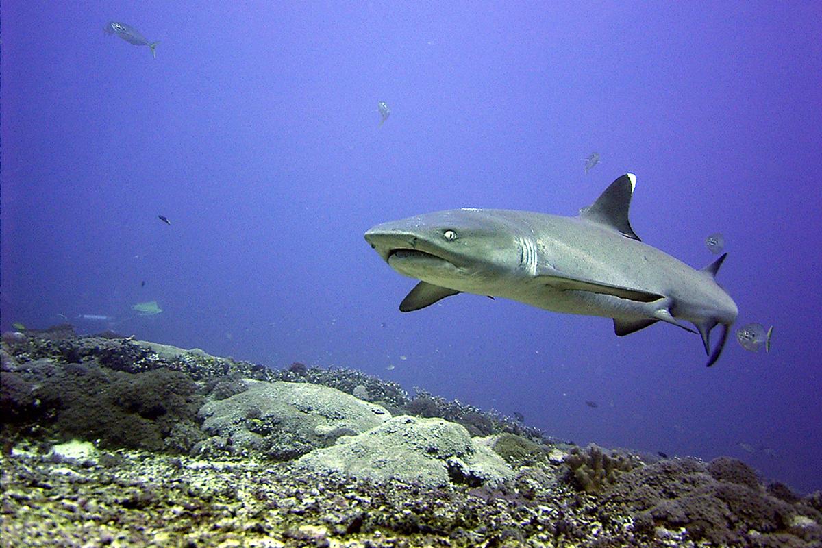 Diving Gili Trawangan - Shark Point
